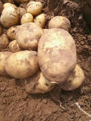 陕西省榆林市定边县希森土豆 2两以上