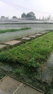四川省成都市郫县黑斑蛙苗