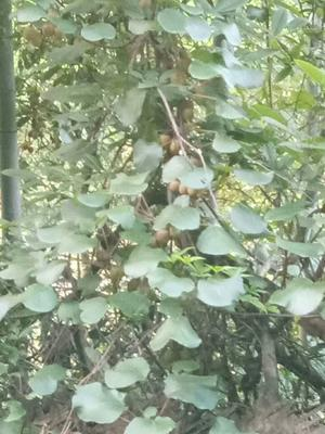 这是一张关于野生猕猴桃 50克以上的产品图片