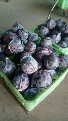 甘肃省定西市临洮县紫甘蓝 2.0~2.5斤