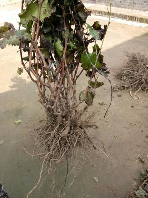 这是一张关于树葡萄苗的产品图片
