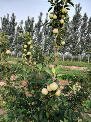这是一张关于烟富8号苹果树苗 1.5~2米的产品图片