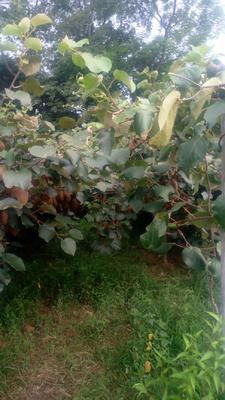 这是一张关于绿心猕猴桃 120克以上的产品图片