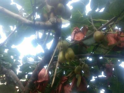 这是一张关于红心猕猴桃 60克以下的产品图片