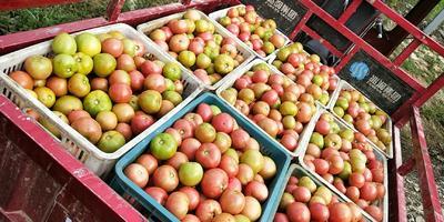这是一张关于硬粉番茄 不打冷 硬粉 通货的产品图片