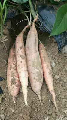 山东省烟台市龙口市烟薯25 红皮 3两以上