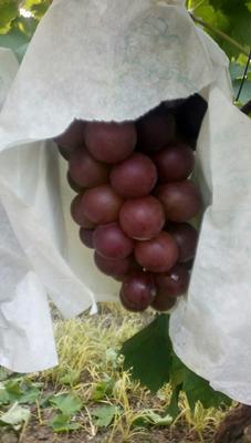 这是一张关于巨峰葡萄 5%以下 1次果 1.5- 2斤的产品图片