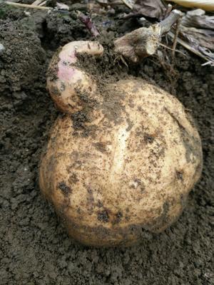 这是一张关于黄心红薯 黄皮 3两以上的产品图片