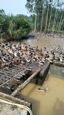 广西壮族自治区玉林市博白县青头鸭 5-8斤