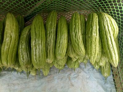 广西壮族自治区贺州市八步区绿苦瓜 18cm以下 2两以下