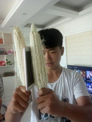 山东省菏泽市巨野县糯玉米 白粒 鲜货