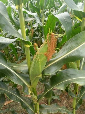 广西壮族自治区桂林市兴安县甜玉米 黄粒 鲜货