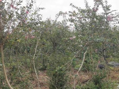 广西壮族自治区来宾市兴宾区紫薇树
