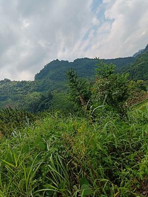 广西壮族自治区河池市南丹县金刺梨