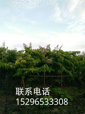 广西壮族自治区南宁市兴宁区紫薇树