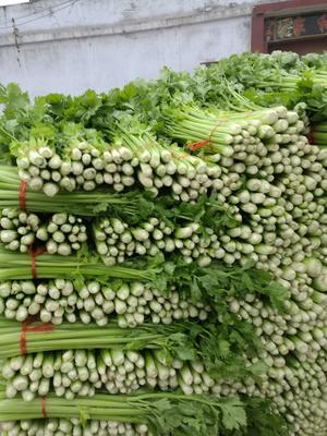 山东省济宁市金乡县皇妃芹菜 60cm以上 大棚种植 0.5斤以下