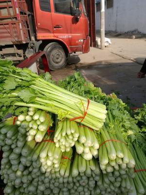 山东省济宁市金乡县西芹 60cm以上 大棚种植 0.5斤以下