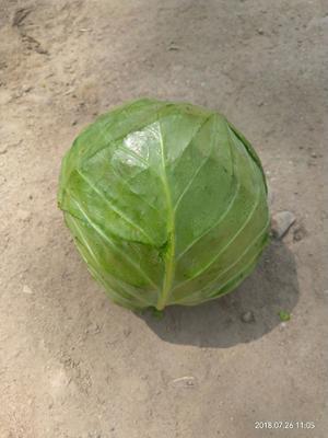 甘肃省定西市安定区圆包菜 0.5斤以下