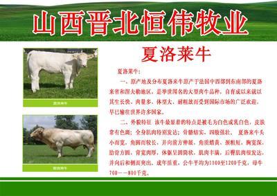 山西省忻州市定襄县西门塔尔牛 200-300斤 统货