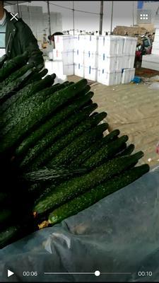 山东省聊城市莘县油亮密刺黄瓜 30cm以上 鲜花带刺