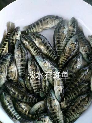 广东省茂名市高州市淡水石斑 人工殖养 0.5公斤以下