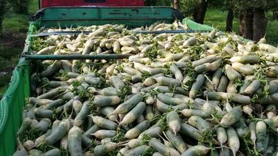 吉林省长春市朝阳区青皮绿萝卜 1~1.5斤