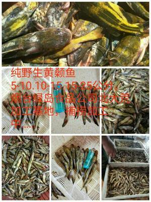 山东省烟台市海阳市野生黄颡鱼 野生 0.05公斤