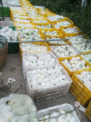 广东省广州市增城区胭脂红番石榴 150-200克