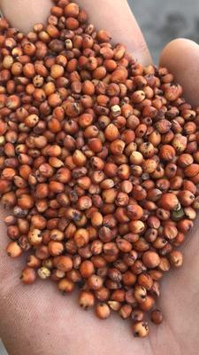 天津宝坻区高粱米 霉变 ≤1% 1等品