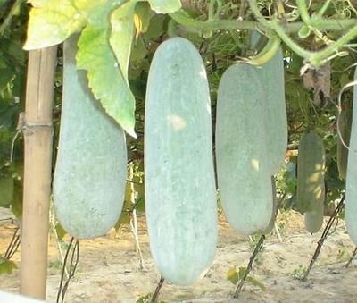 广西壮族自治区柳州市柳城县毛节瓜 5斤以上 白霜