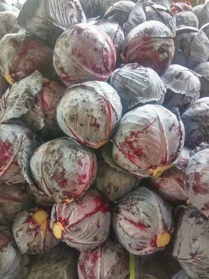 甘肃省定西市临洮县紫甘蓝 1.5~2.0斤