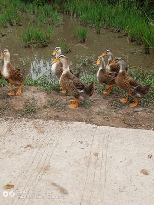 重庆长寿区绿头鸭 3-5斤