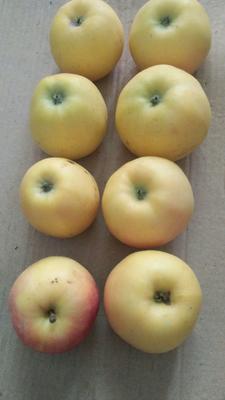 这是一张关于嘎啦苹果 光果 表光 65mm以上的产品图片