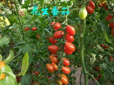 山东省潍坊市寿光市樱桃番茄种子 90% 杂交一级