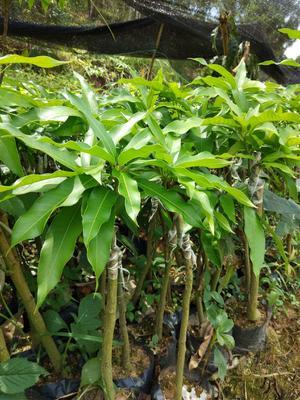 这是一张关于台农芒果苗的产品图片
