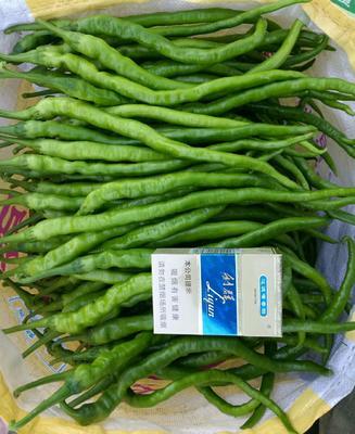 河南省商丘市睢阳区线椒种子 97%以上 原种