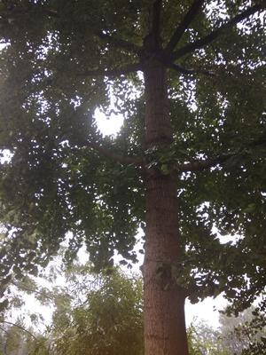 湖北省孝感市汉川市银杏实生树