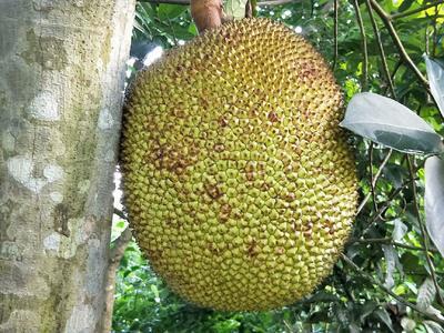 广东省湛江市廉江市泰国菠萝蜜 15斤以上