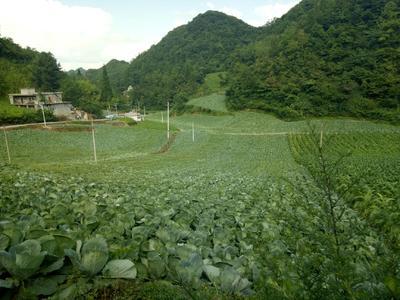 重庆彭水苗族土家族自治县京丰一号甘蓝 2.0~2.5斤