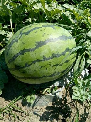 吉林省松原市扶余市林丰999 有籽 1茬 9成熟 10斤打底