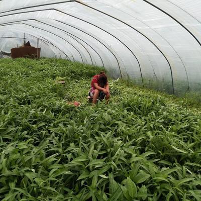 上海青浦区竹叶空心菜 20 ~ 25cm