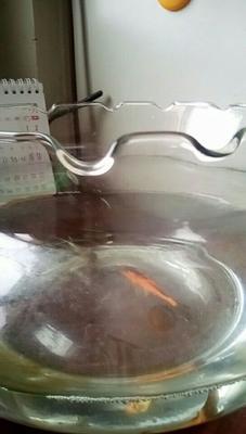 河北省廊坊市安次区原生国槐