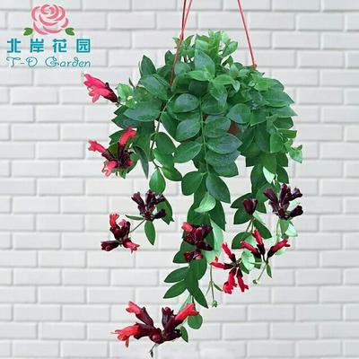 山东省济南市济阳县口红吊兰 30~50cm