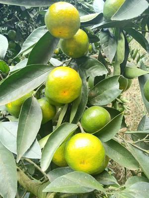 湖北省宜昌市宜都市石门蜜橘 6 - 6.5cm 3两以上