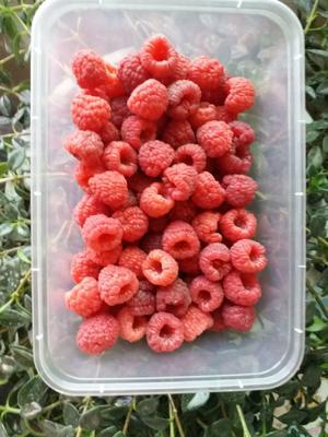辽宁省鞍山市台安县红树莓 鲜果