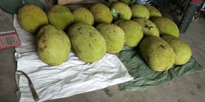 广东省茂名市高州市尖蜜拉 15斤以上