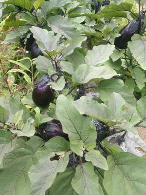 贵州省毕节市纳雍县紫光圆茄 2两以上