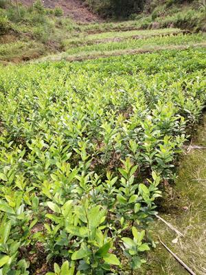 广西壮族自治区钦州市灵山县香水柠檬苗