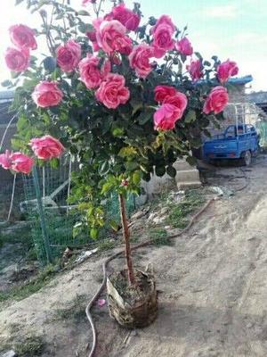 甘肃省定西市安定区树状月季