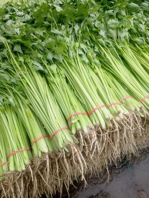 山东省聊城市阳谷县毛芹 55~60cm 大棚种植 0.5斤以下